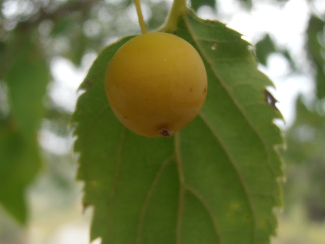 ALMEZ: Celtis australis