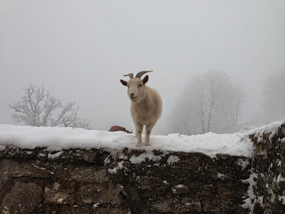 Winter goat in Germany