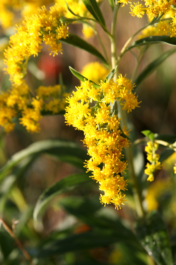 goldenrod guys Goldenrod is a par­a­doxical plant to north americans, it is a roadside weed, evicted from gardens as an undesirable invader, yet europeans cultivate it as an ornamental for the sunny border it has long been scorned (though mistakenly) as the bane of ­allergy sufferers, yet people on three.