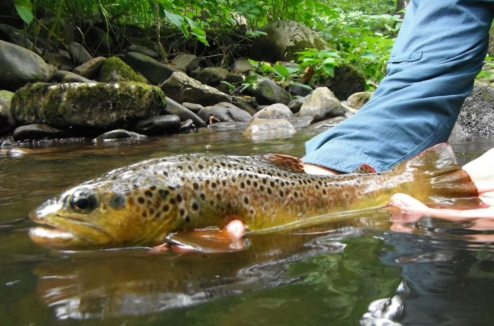 Western maryland fly fishing starting to feel like fall for Md trout fishing