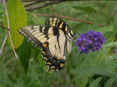 Yellow Tiger Swallowtail Butterfly on Butterfly Bush