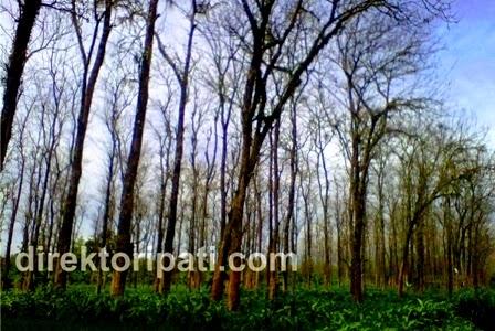 Pesona Hutan Jati di Tlogowungu Pati