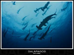Tiburones Martillos