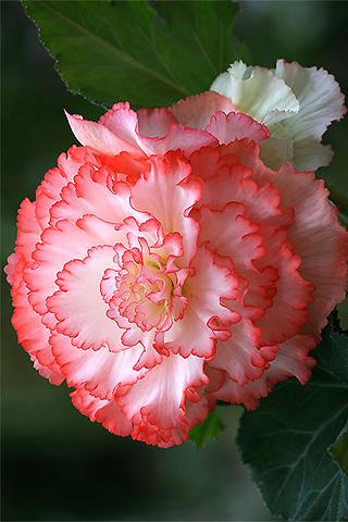 Begonias - Solo Nuevas