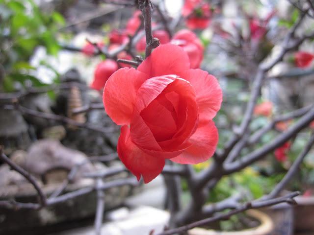 Bông Mai Đỏ trong vườn nhà Ngọn Gió Đêm xuân Tân Mão 2011