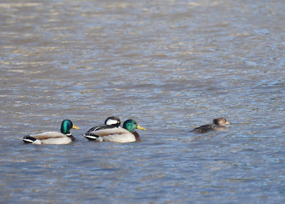 Mallards and Hooded Mergansers