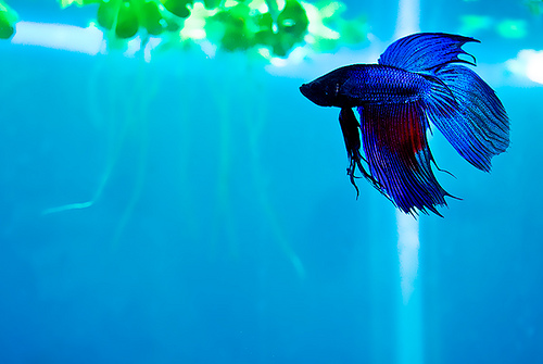 Betta fish care for What kind of fish can live with a betta