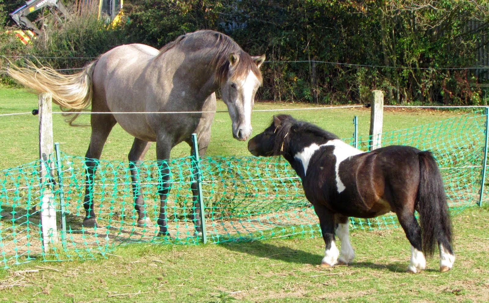 Rico and Romeo, mini Shetland stallion.
