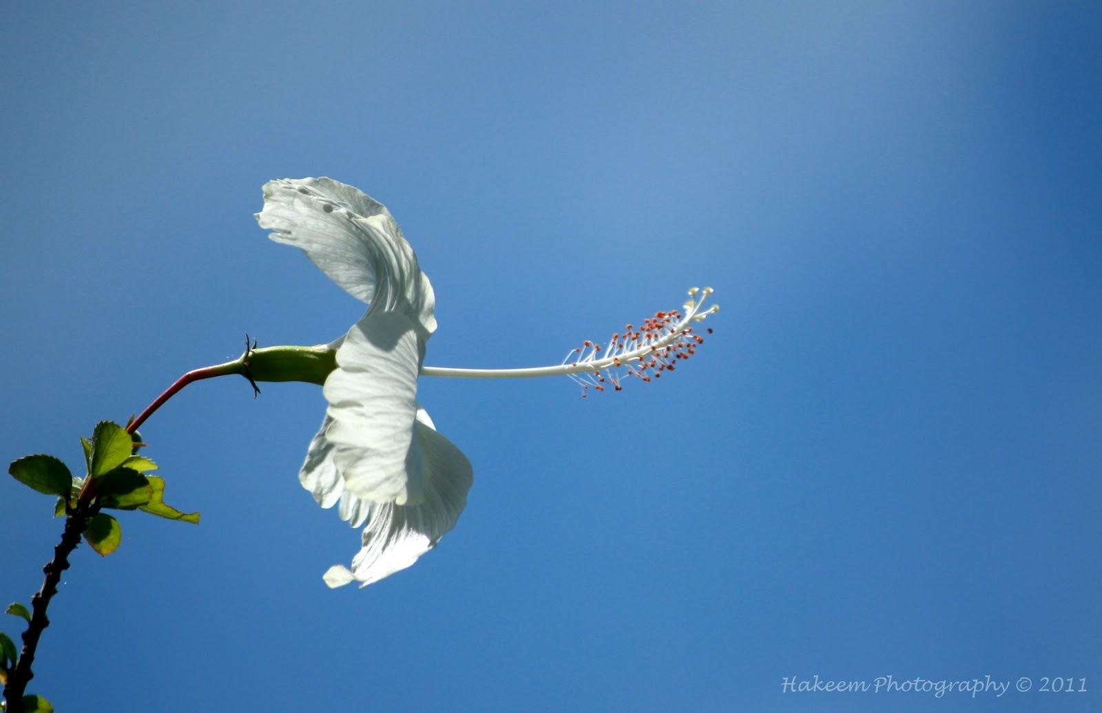 White Hisbiscus