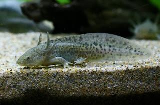 Mexico Salamander