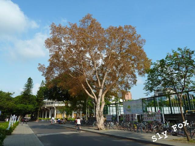 成大菩提樹