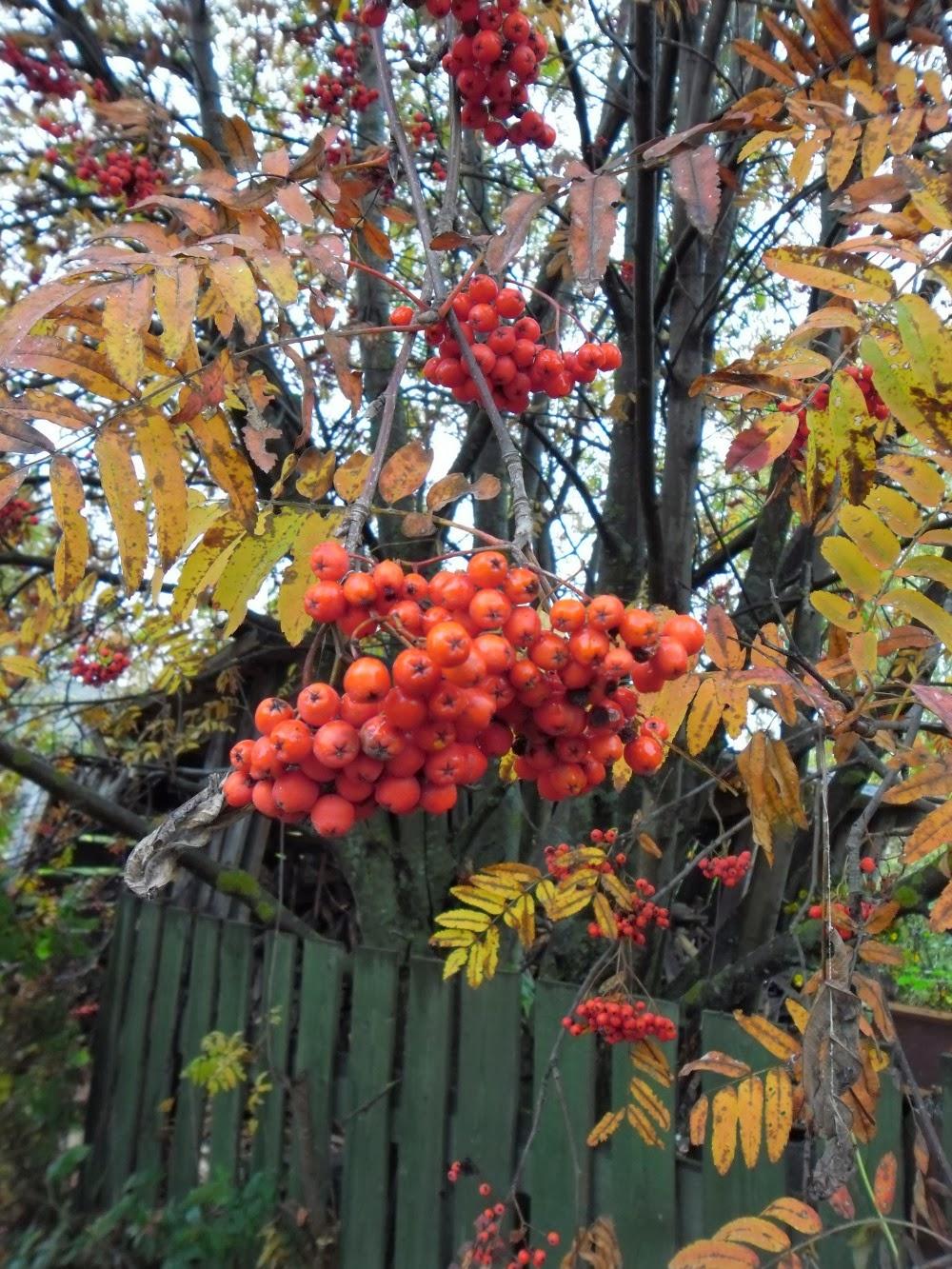 Осень. Рябина