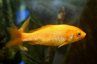 Common gold fishes