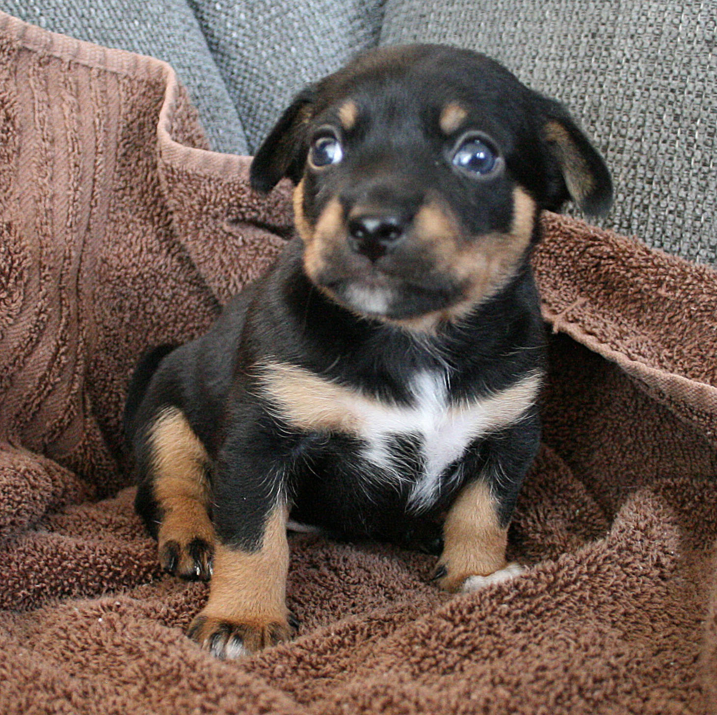 miniature pinscher puppies picture Book Covers
