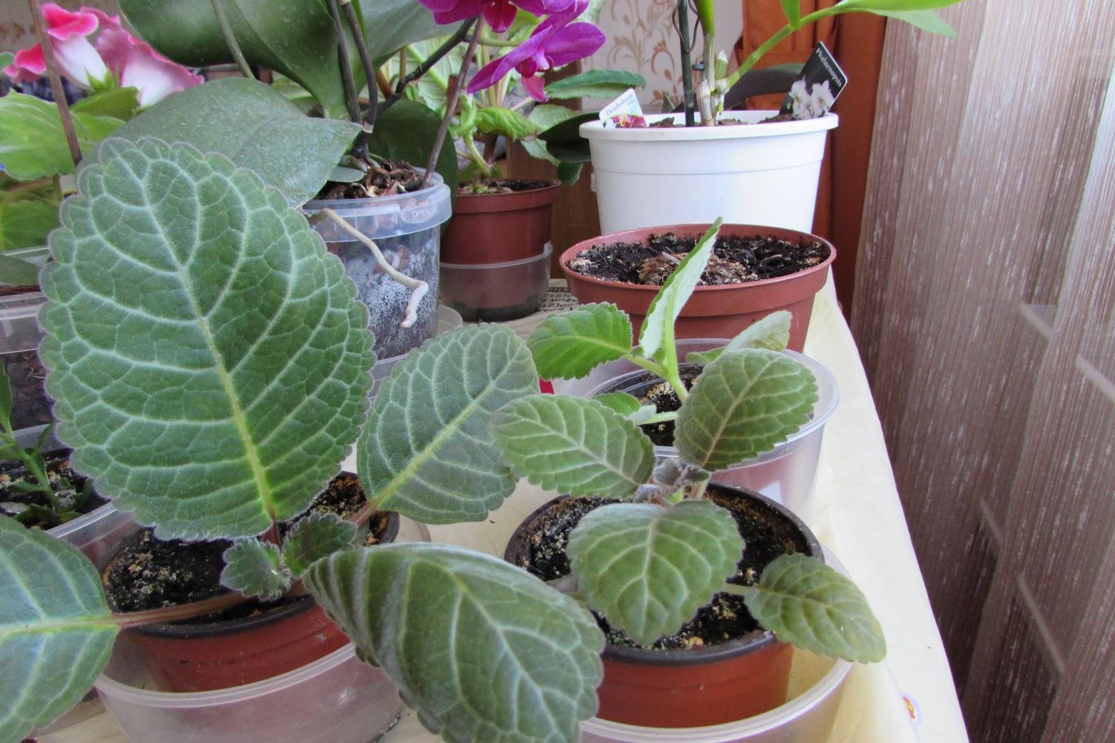Глоксиния. Уход и выращивание в домашних условиях
