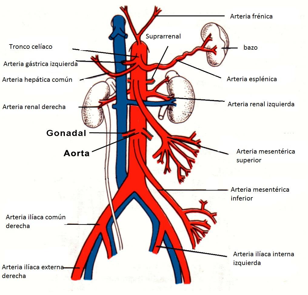 Sistema Circulatorio: Vascularización del tórax y abdomen
