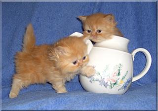 gambar Kucing Teacup Persian