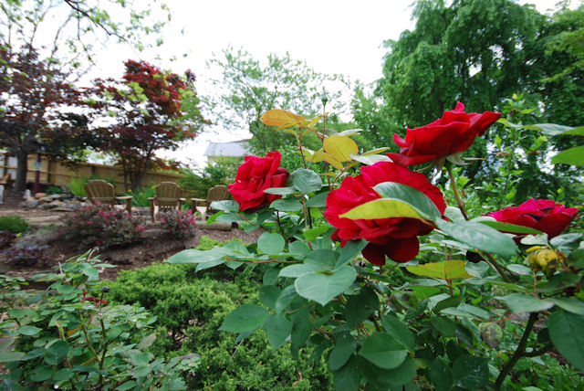 Roses at The Claiborne House B&B taken today May 11, 2013