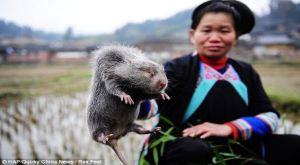 Wanita China Ternak Tikus Raksasa di Rumahnya