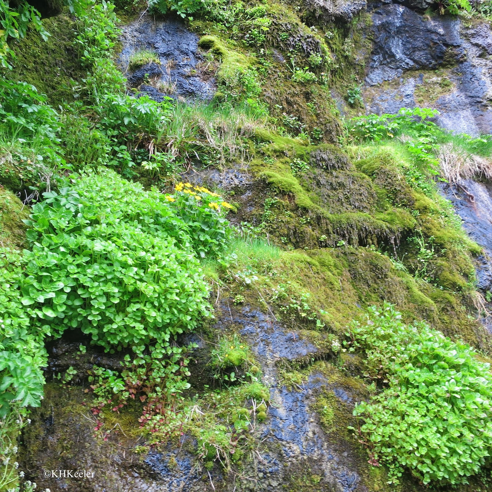diverse plants on a steep cliff, Faroes