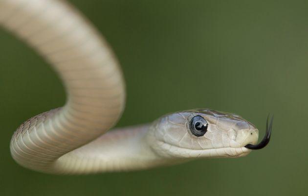 BLACK MAMBA ~ Venomous Snakes
