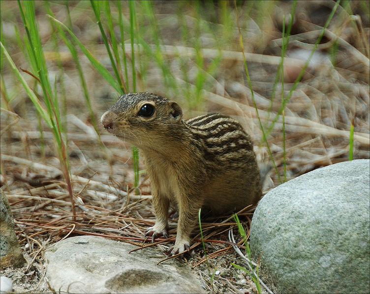 The News For Squirrels Squirrel Facts The ThirteenLined Ground - Facts about the west region