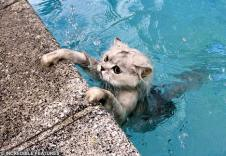 Gray tabby in swimming pool