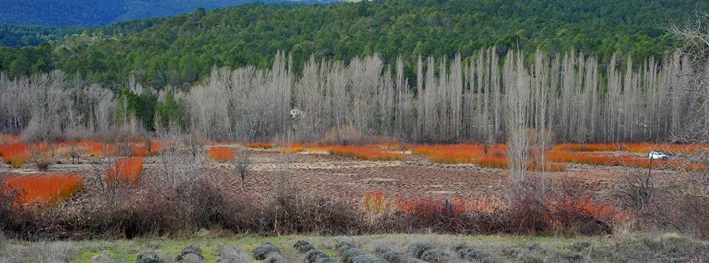 Ruta del mimbre Salix purpurea