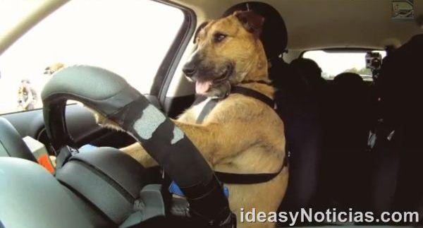 Increíble. Este perro es capaz de conducir un automóvil