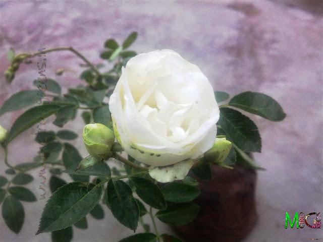 Metro Greens: Miniature Roses-White