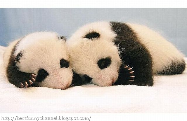 images of cute baby pandas - photo #26