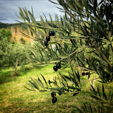 Waiheke Island Olives