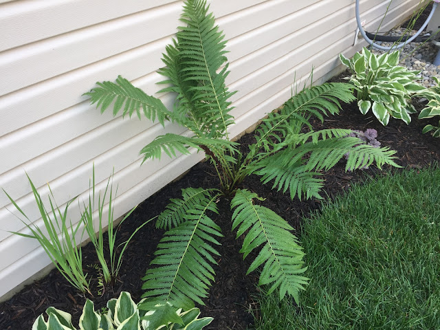 ostrich fern in side yard
