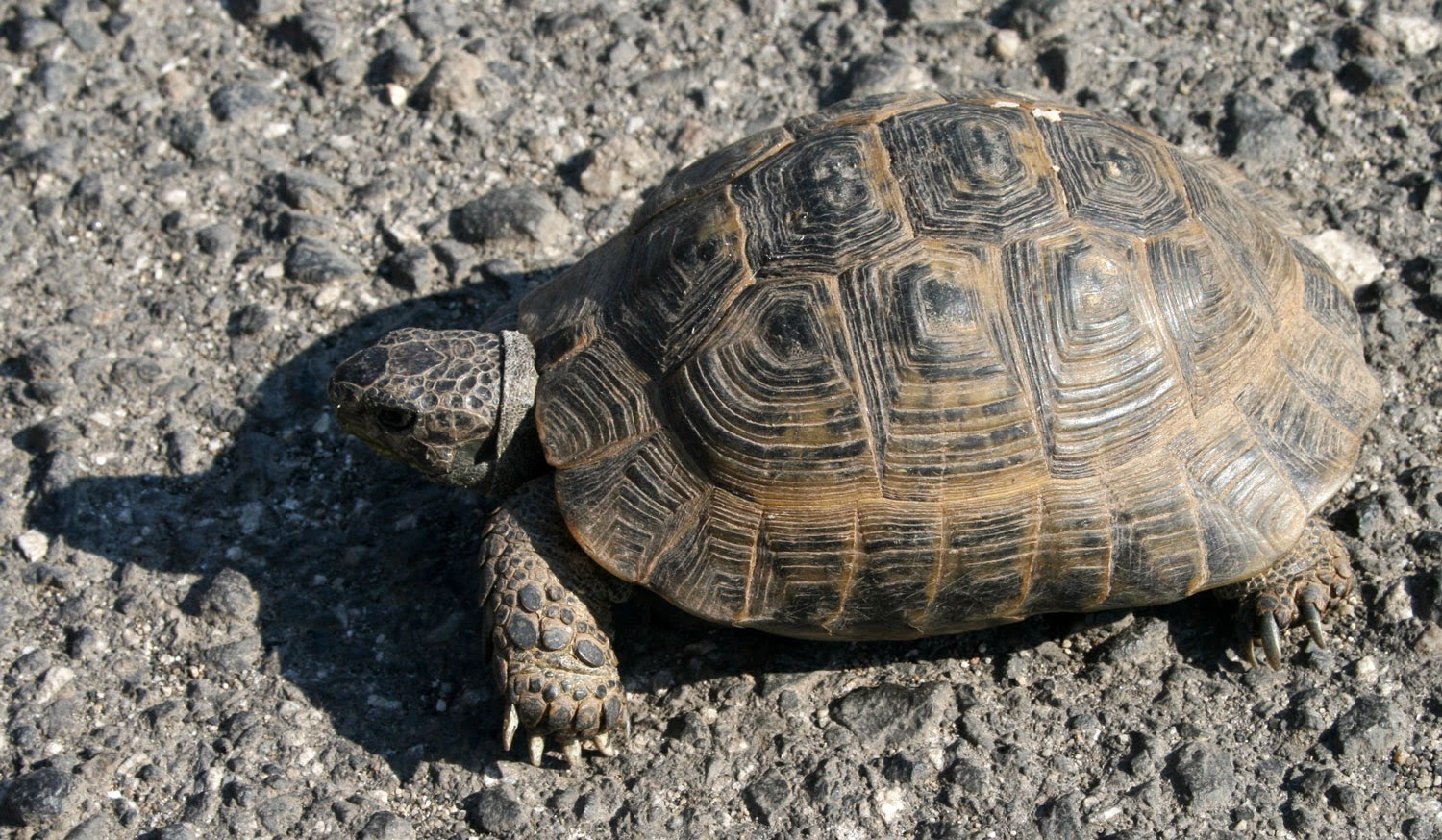 Little tortoise on the road