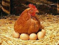 Gà đòi ấp trứng theo bản năng.