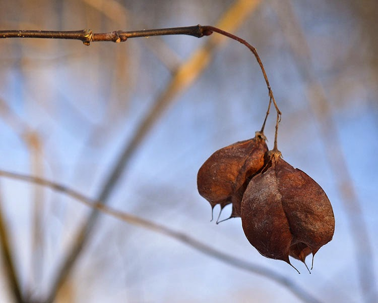 Bladdernut pods are brown and brittle in winter, but they still hang on to the trees.