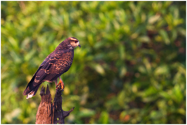 A photograph of a Snail Kite (Rostrhamus sociabilis) taken in the Amazon, Brazil