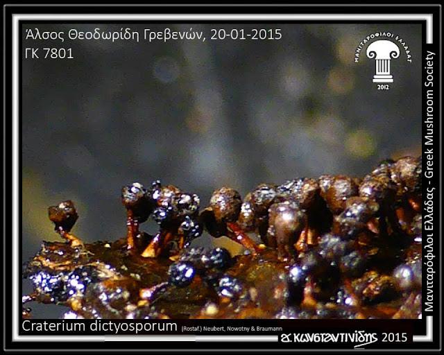Craterium dictyosporum (Rostaf.) Neubert, Nowotny & Braumann