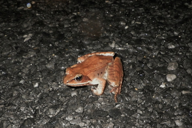 wood frog crossing road