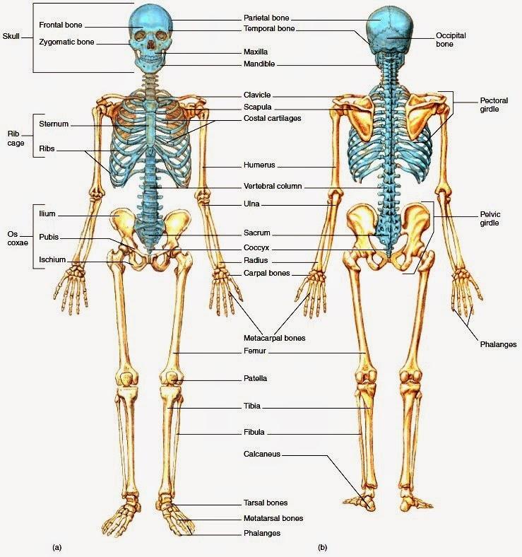 Tulang Penyusun Tubuh Manusia