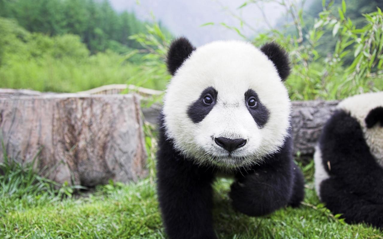 Бебе панда, HD Wallpaper