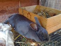 Cara mengetahui kehamilan kelinci