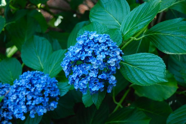 Bigleaf hydrangea, Hydrangea macrophylla 'Ayesha', was a stunner with its true blue coloring.
