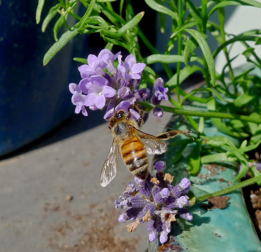 Honey Bee on Lady Lavender