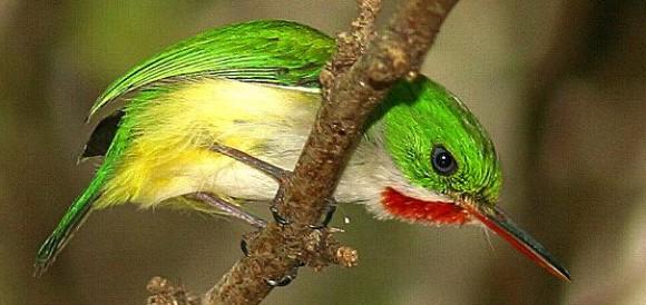 معلومات شيقة على طيور التودي بالصور Todusmexicanus4-580x274