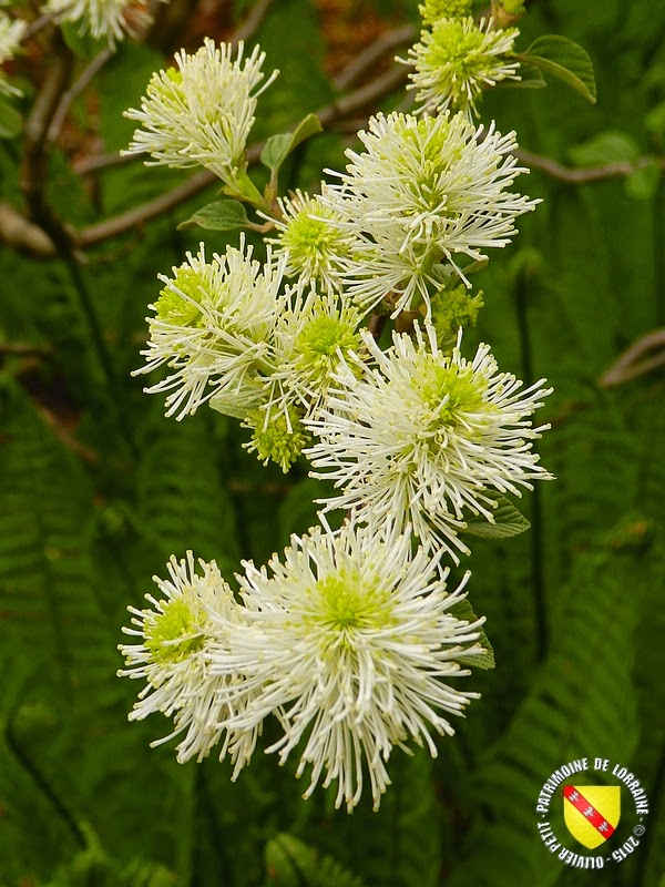 VILLERS-LES-NANCY (54) : Le jardin botanique du Montet-Fothergilla monticola