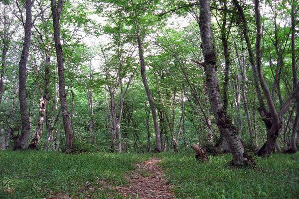 Tuğay meşələri