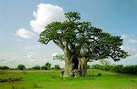 curarsi col baobab frutti medicina