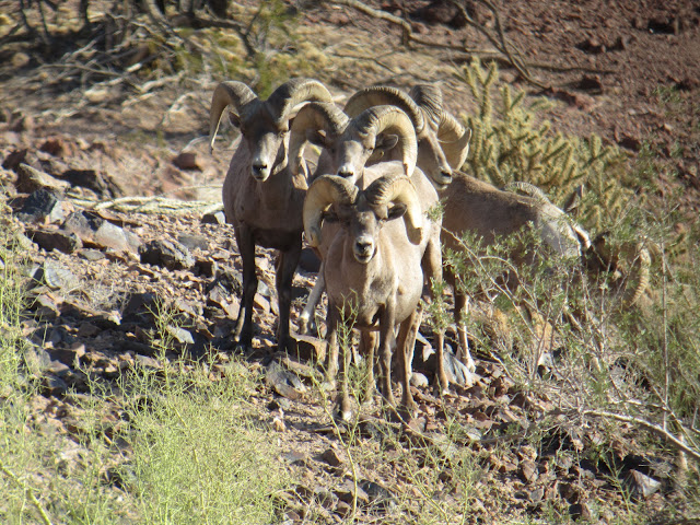 AZ+Desert+Bighorn+Sheep+Scouting+Pics+by+Colburn+and+Scott+Outfitters+6.JPG