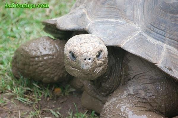 Tortuga de las Galápagos en el Zoo de Barcelona